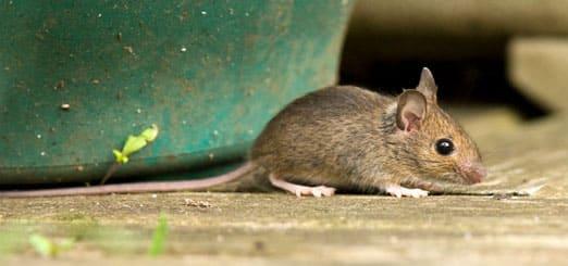 exterminateur de souris au qu bec pour lutter contre ses. Black Bedroom Furniture Sets. Home Design Ideas