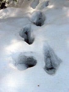 Des collemboles dans la neige