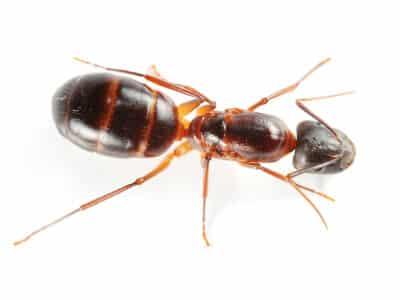Notre spécialité: la fourmi charpentière