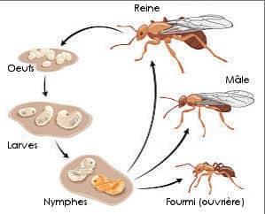 cycle de vie de la fourmi