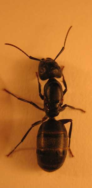 description fourmi charpentière