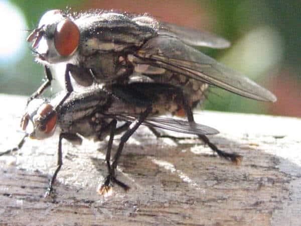La mouche domestique - Invasion de mouches pourquoi ...