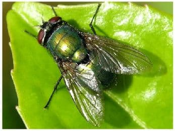 La mouche verte de la viande - Invasion de mouches vertes ...