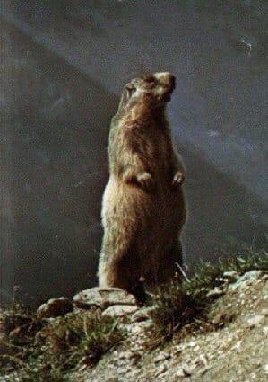 marmotte du quebec
