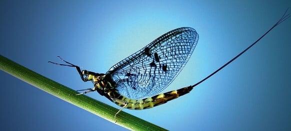 éphémère larve aquatique, insecte terrestre
