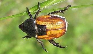 Le hanneton, sa larve est redoutable pour les cultures