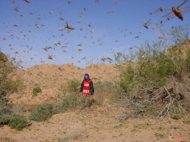 Les sauterelles des nu es d vastatrices - Charancon du riz dangereux ...