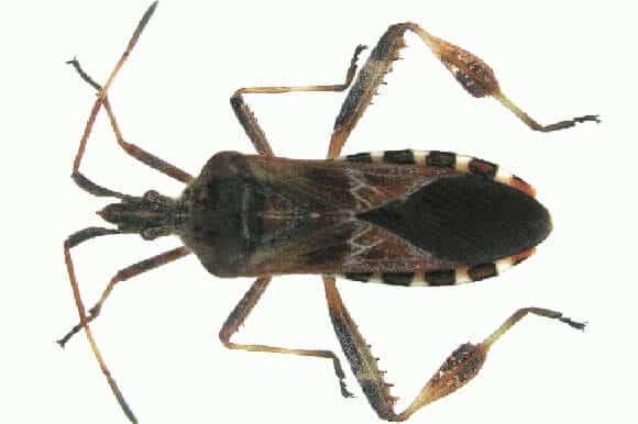 insectes du qu bec fourmis puces de lits puces. Black Bedroom Furniture Sets. Home Design Ideas