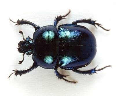 Le scarabée puissant insecte et ravageur au Québec