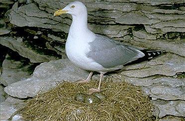 herring-gull