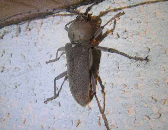 Hesp rophane une larve destructrice du bois - Du bois dans ma maison ...