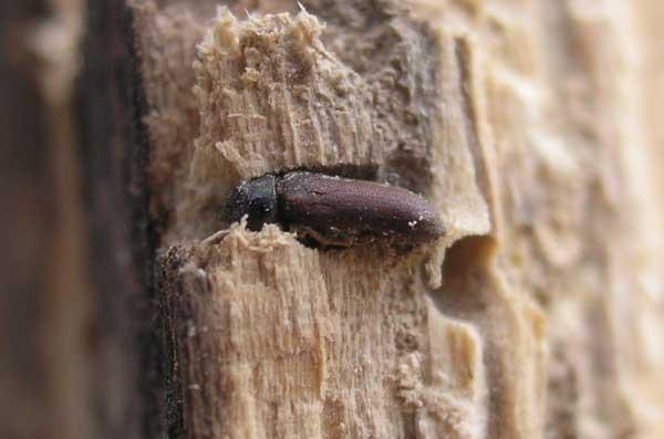 Les vrillettes d voreuses du bois de meubles et charpentes for Insecte qui mange le bois