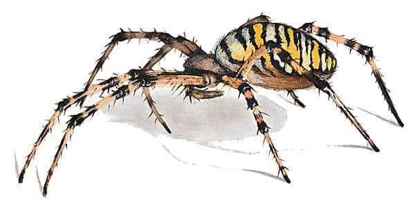 infestation araign e qu bec comment faire. Black Bedroom Furniture Sets. Home Design Ideas
