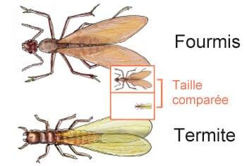 Les termites, le fléau du bois