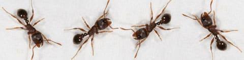 fourmis des pavés