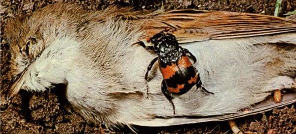 Nécrophore sayi, un insecte qui mange les cadavres