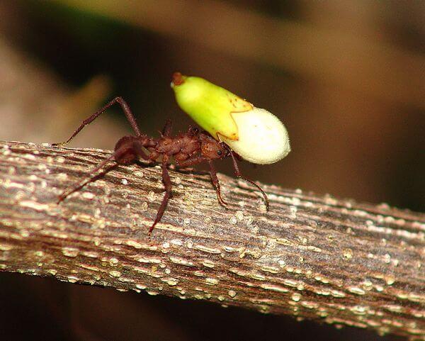 La fourmi manioc, un insecte de Guadeloupe