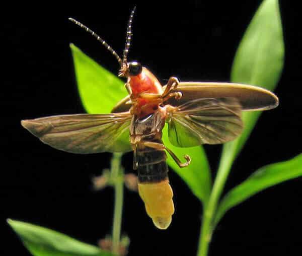 Luciole, mouche de feu ou ver luisant, des insectes lumineux