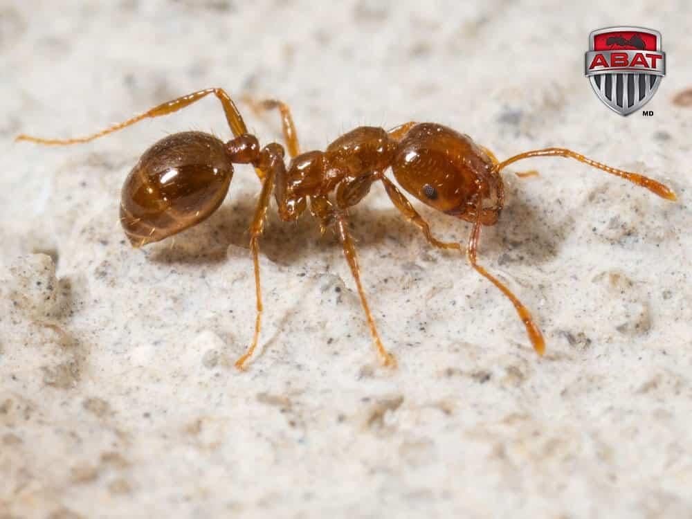 Attention aux piqûres des fourmis de feu