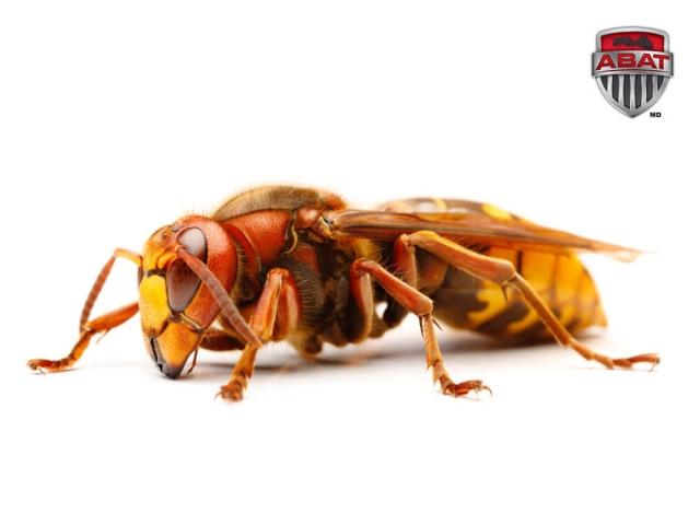 les frelons gros insectes plus effrayants que dangereux. Black Bedroom Furniture Sets. Home Design Ideas