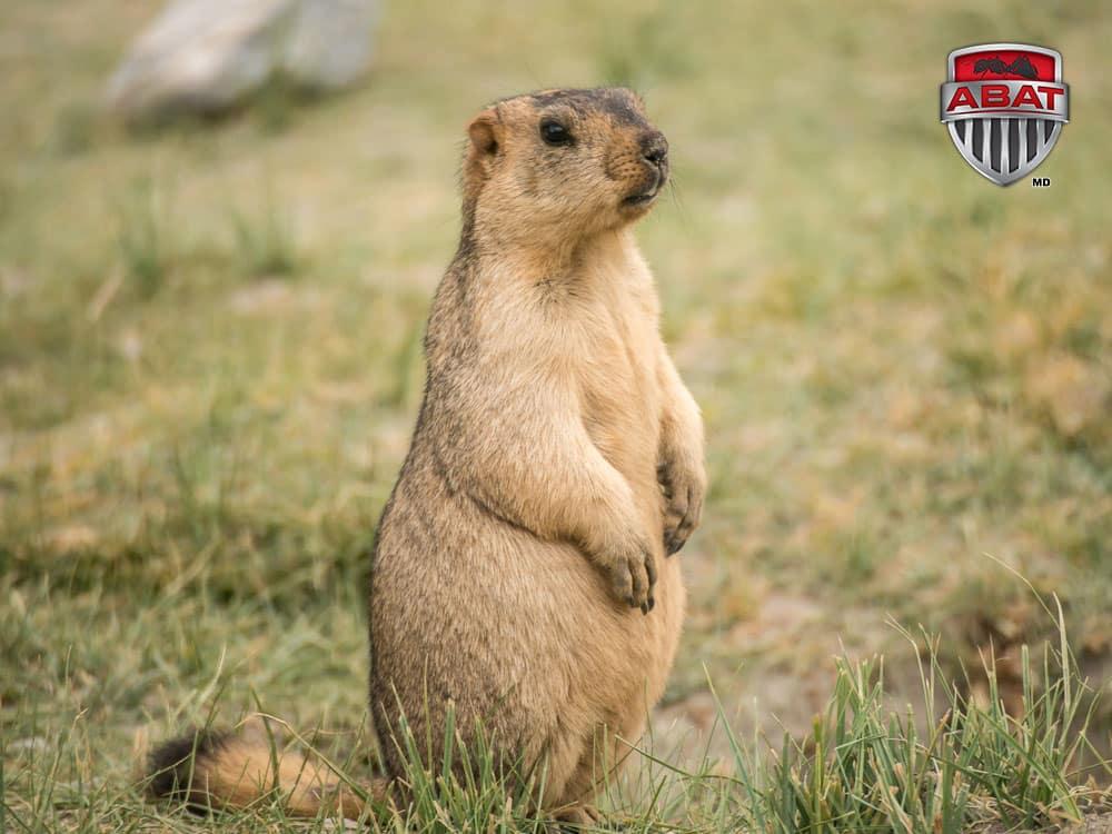 La marmotte siffle et hiberne