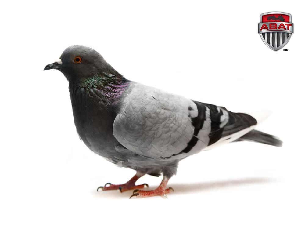 Le pigeon Biset prolifère en ville