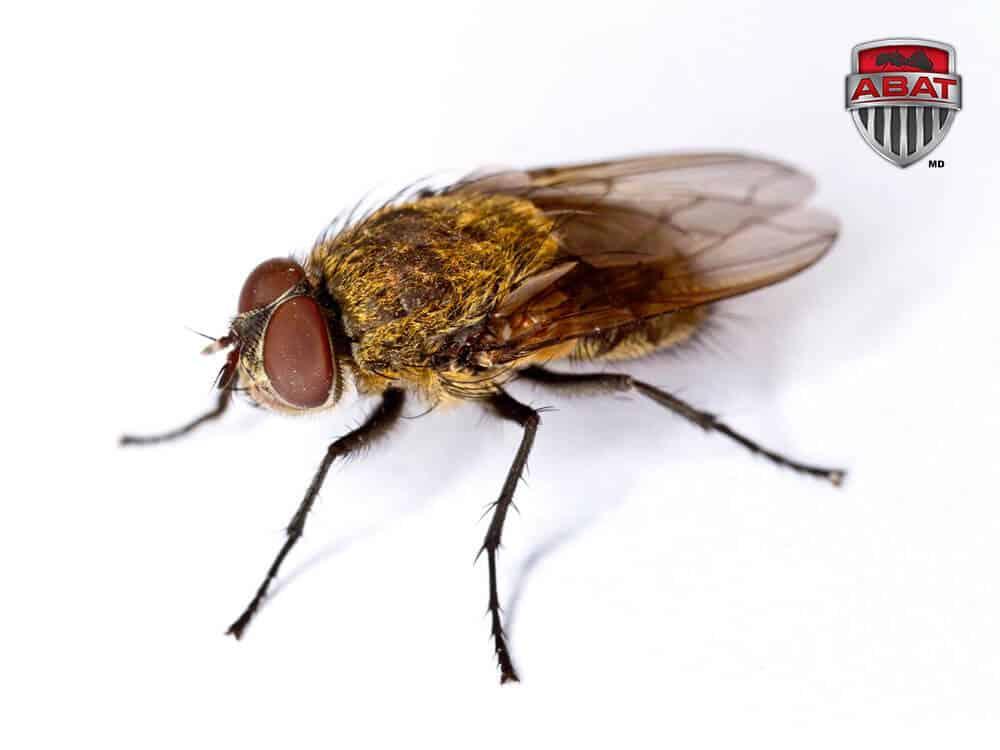Pollenie du lombric mouche des greniers