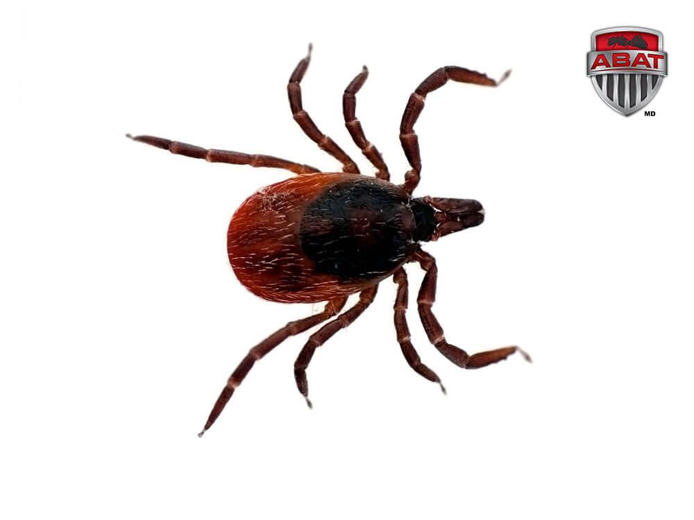 tique famille arachnide