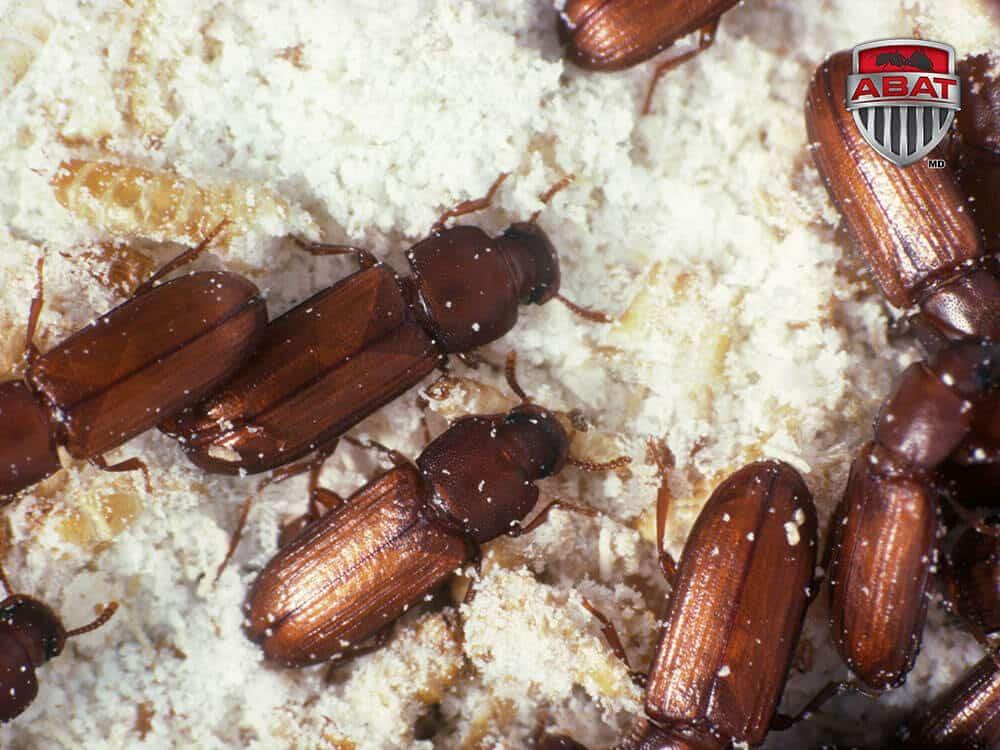 Le tribolium brun de la farine