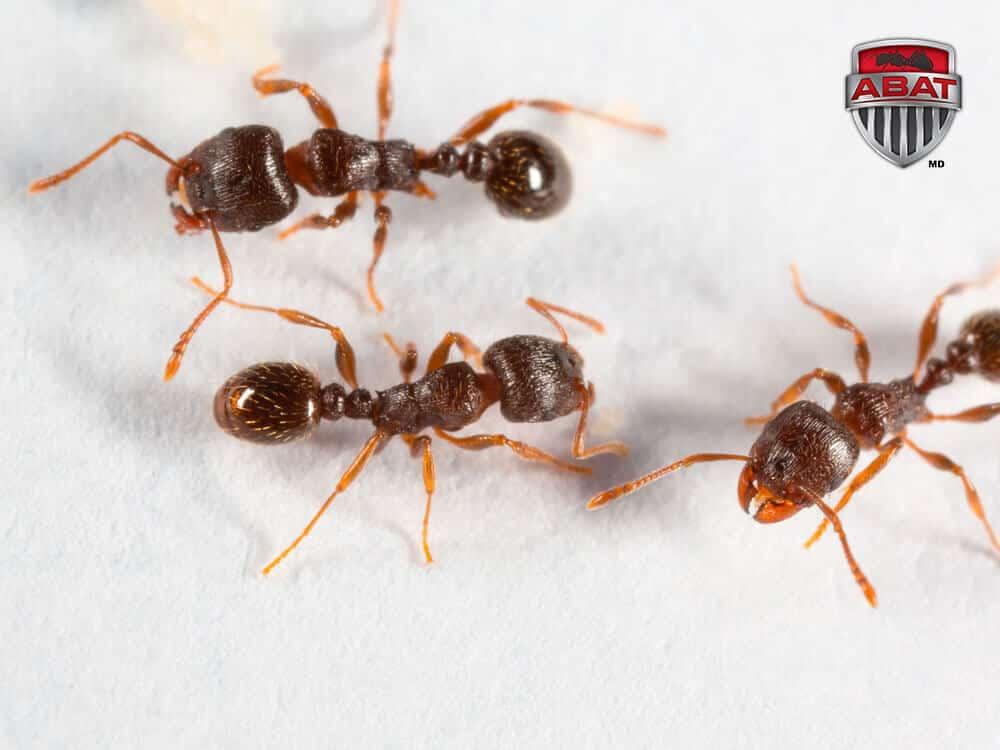 invasion de fourmis des pav s. Black Bedroom Furniture Sets. Home Design Ideas