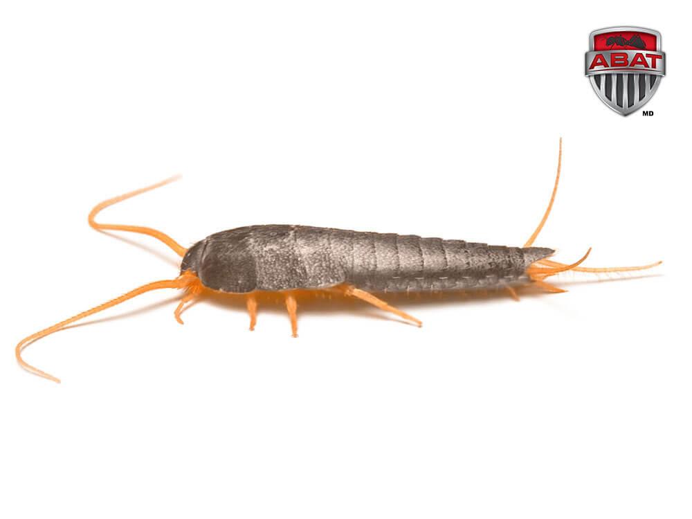 Exterminateur de l pismes le poisson argent - Insecte rampant maison ...