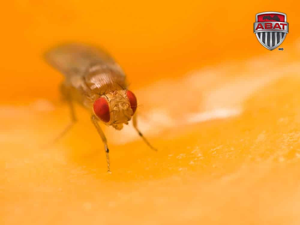 Image Result For Fruit Fly Extermination