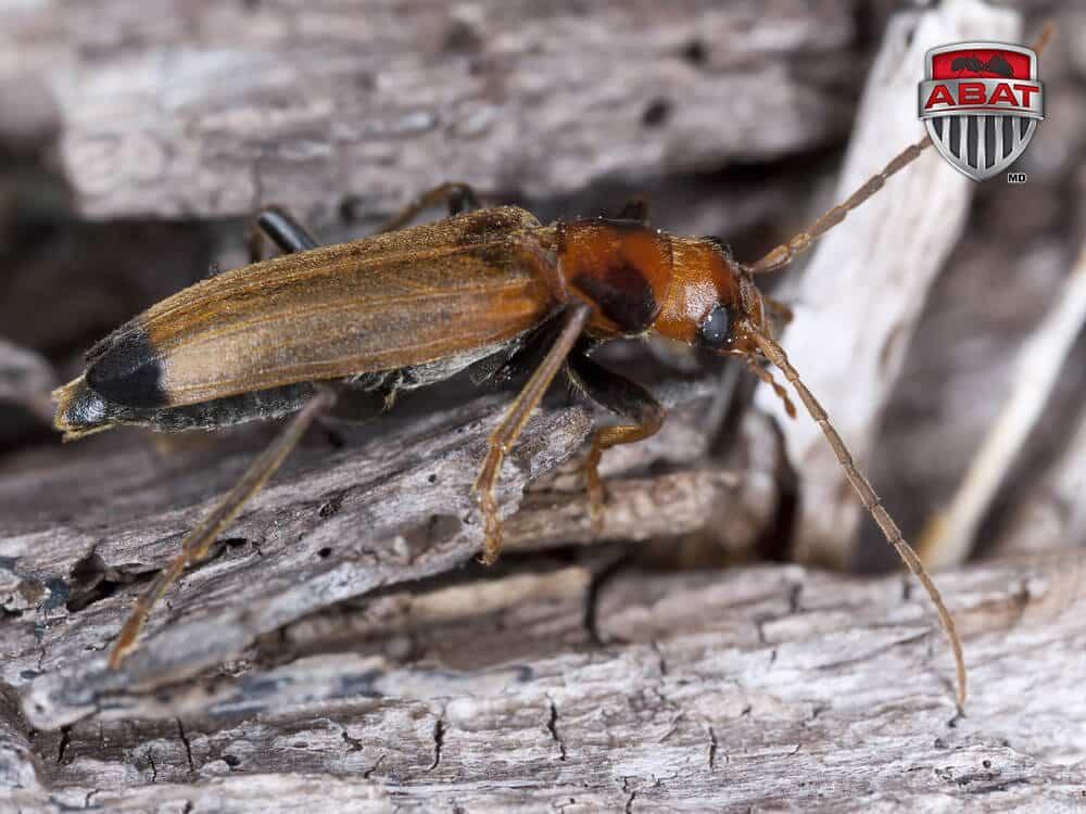 le nacerde insecte du bois
