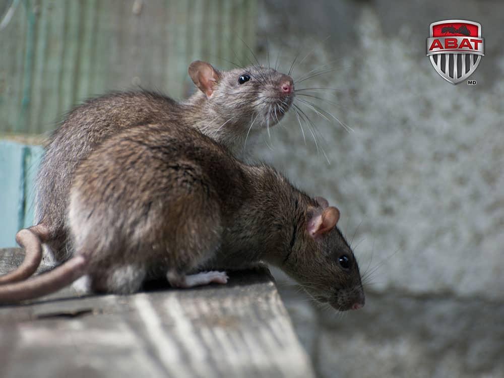 rat gris rat d gout du qu bec description. Black Bedroom Furniture Sets. Home Design Ideas