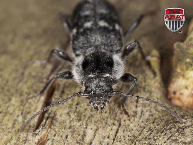 Exterminer le capricorne des maisons destructeur du bois for Insecte bois meuble