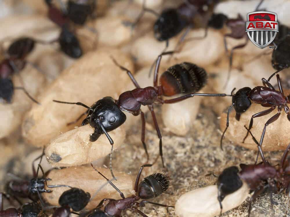 insecticide pour fourmis charpentière