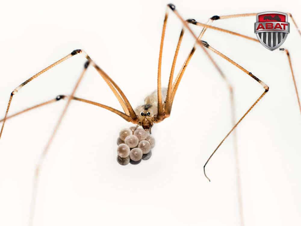 exterminateur d araign es qu bec. Black Bedroom Furniture Sets. Home Design Ideas