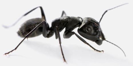 fourmi noire